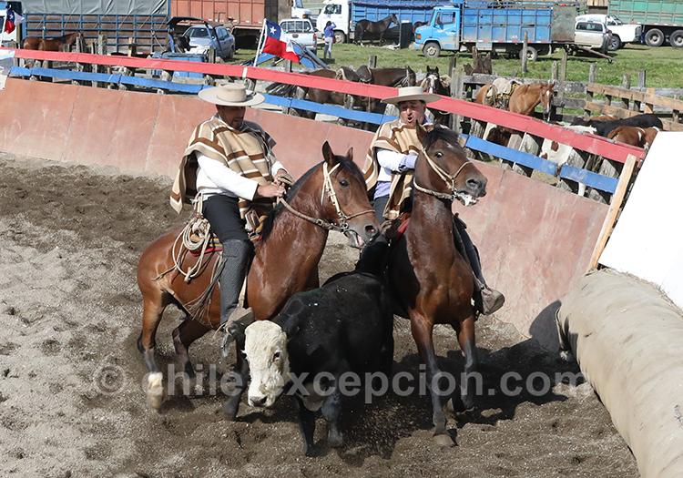 Rodéo et dressage, les chevaux au coeur de la vie huaso