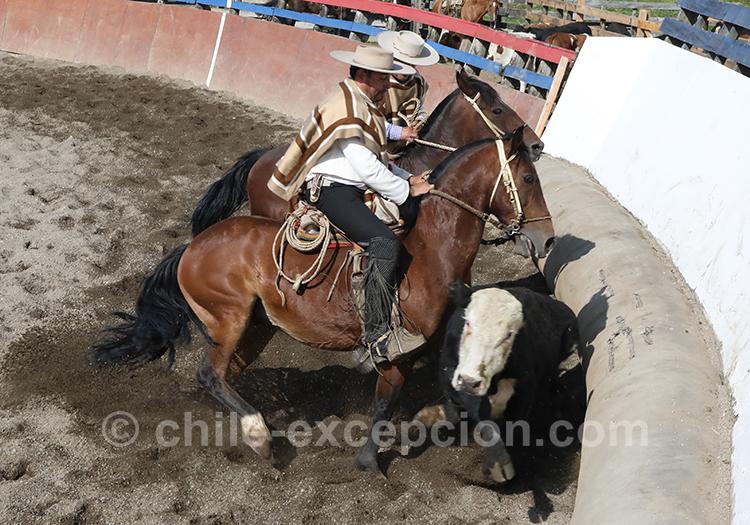 Les chevaux et les boeufs au centre de la vie des huasos