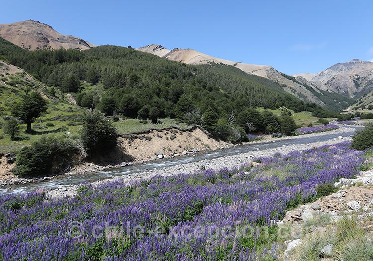 Fleurs violettes dans le parc national Cerro Castillo, Chili