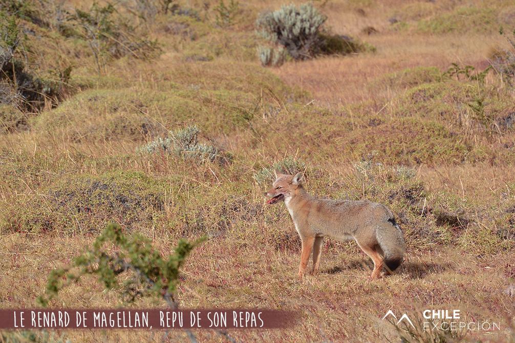 Le renard de Magellan, repu de son repas