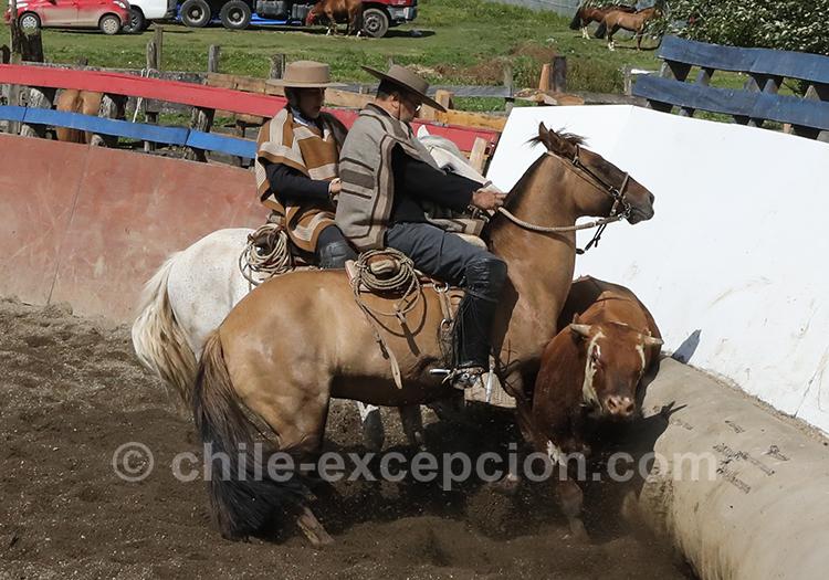 Rodéo au Chili, une tradition huaso