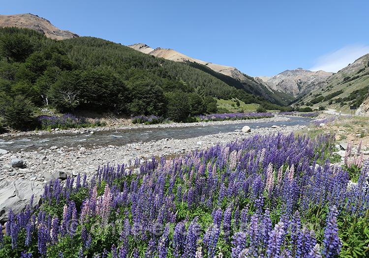 Magnifique étendue de fleurs dans le parc national Cerro Castillo