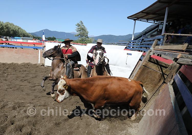 Elevage des boeufs et démonstration au public au Chili