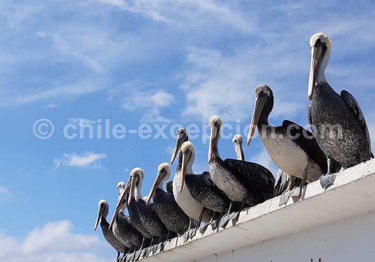 Faune de la station balnéaire Pichidangui, centre du Chili