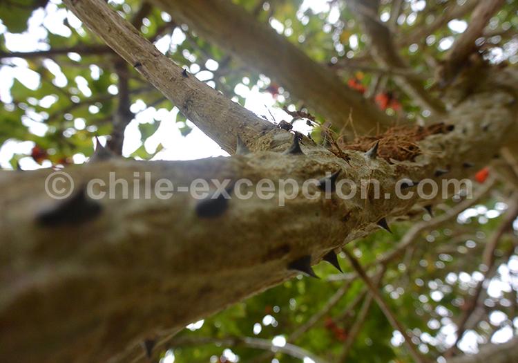 Erythrine arbre du Chili avec l