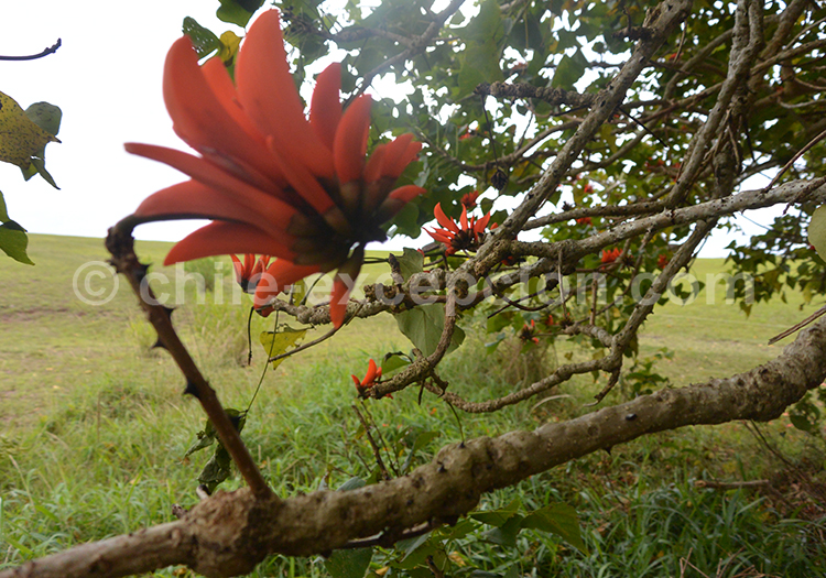 Fleur de l'Erythrine, arbre du Chili
