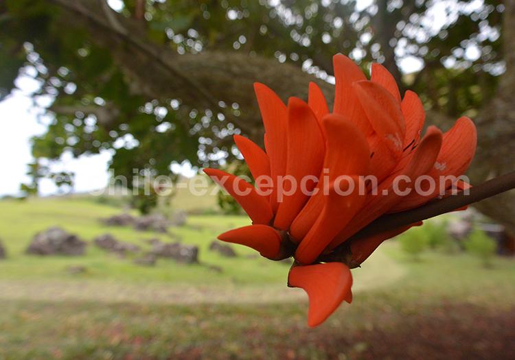 Quelle est la fleur de l'Erythrine, flore du Chili avec l'agence de voyage Chile Excepción