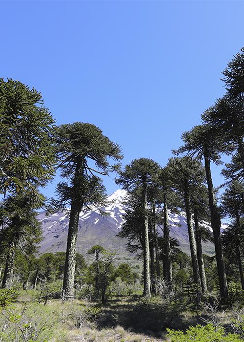 Les arbres du Chili