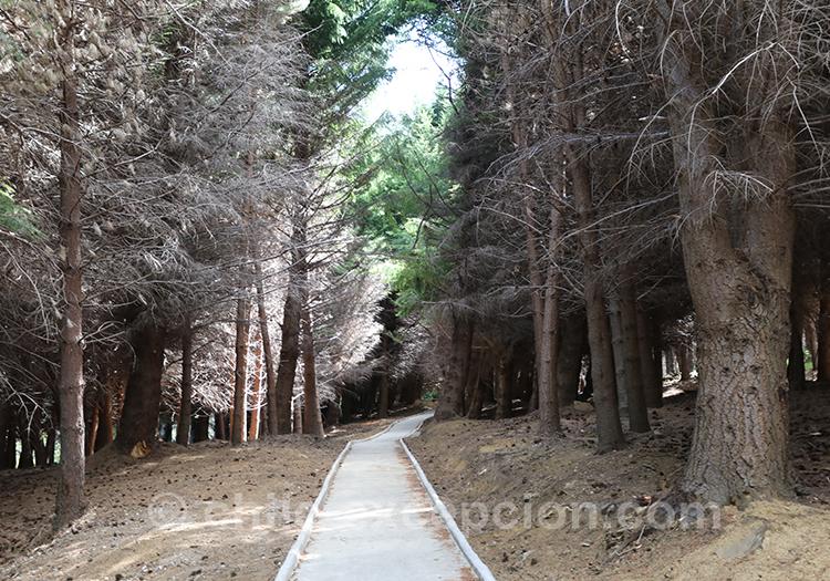 Pins du parc national Coyhaique, Chili