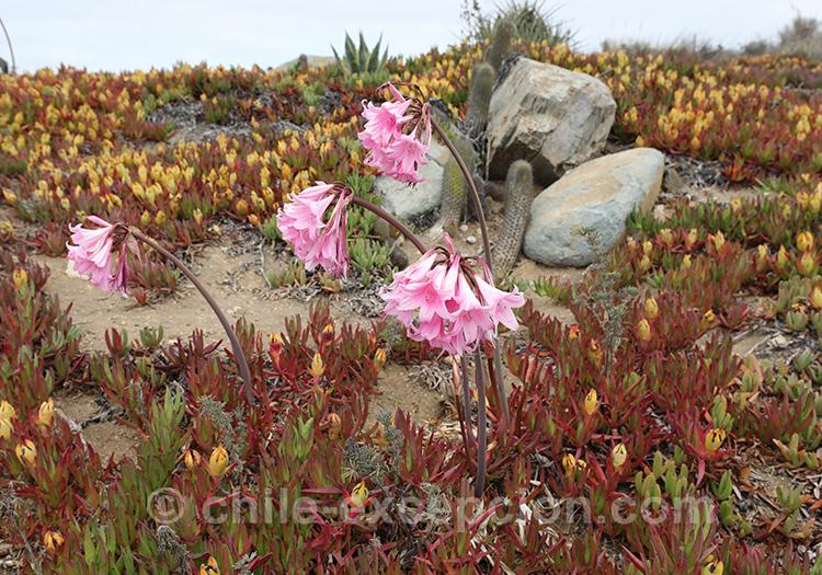 Fleurs du chili, Alaia hotel, Pichilemu, Chili