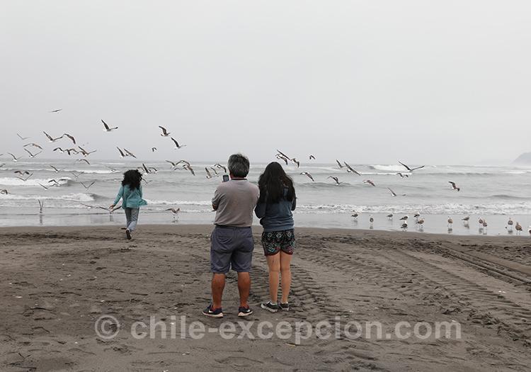 Les mouettes de Bucalemu, Chili