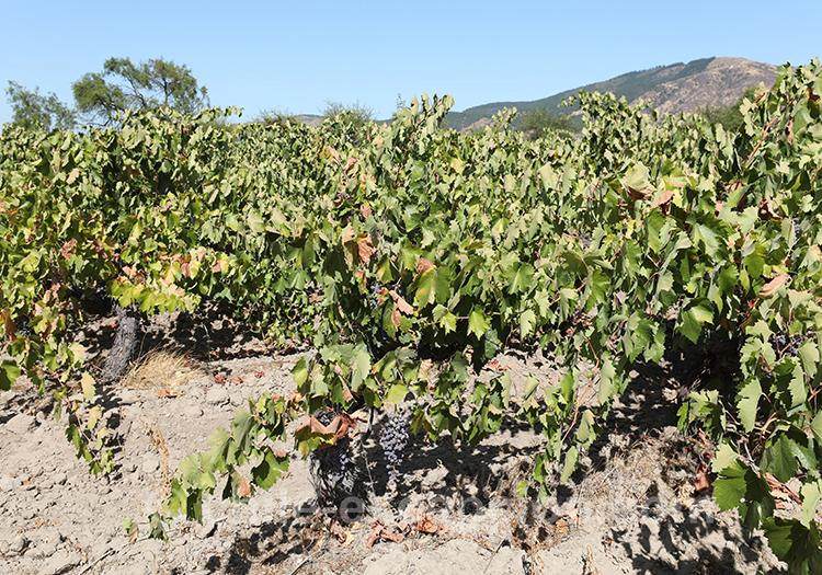 Les vignes de la maison d'hôte Caliboro, Chili