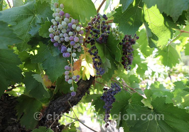 Le raisin de la viña de la maison d'hôte Caliboro, Chili