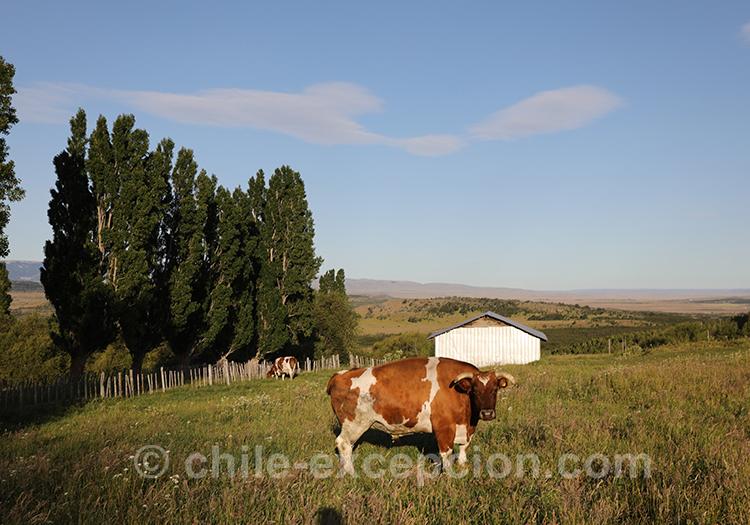 Vache de patagonie au Chili