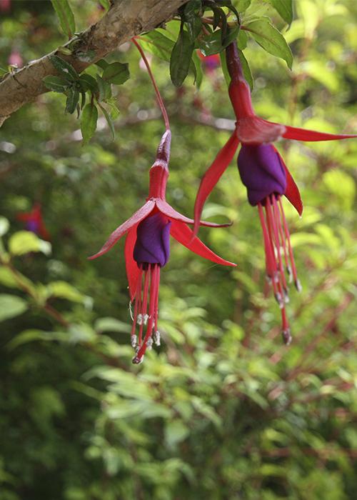 Les arbustres du Chili