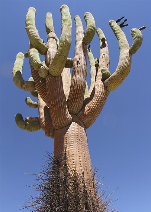 Les cactus du Chili