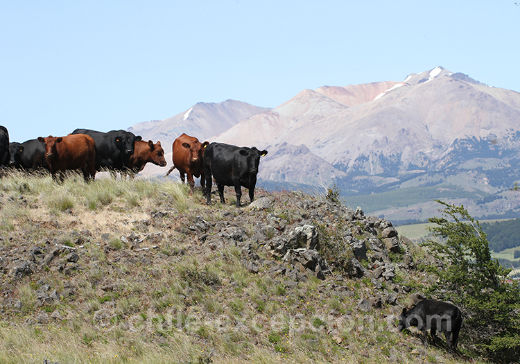 Boeufs de la région Patagonie australe du Chili, Coyhaique