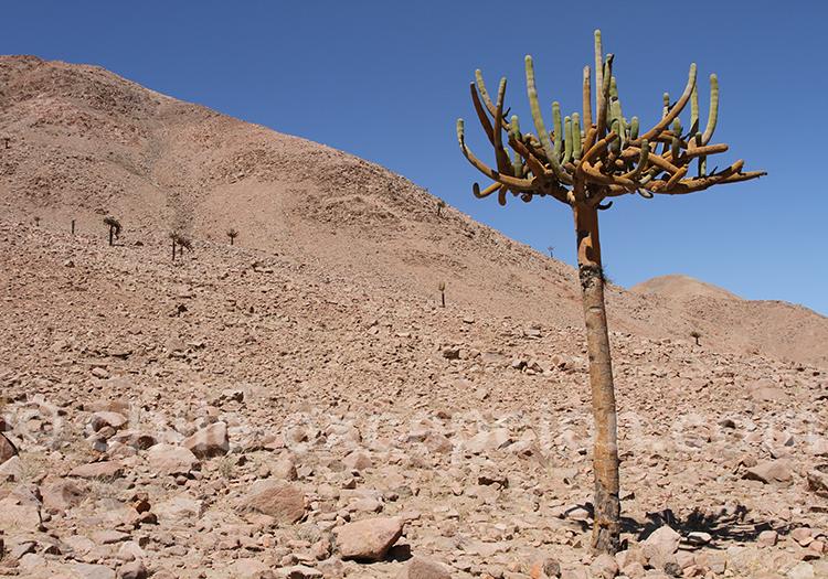 Cactus candélabre, nord Chili