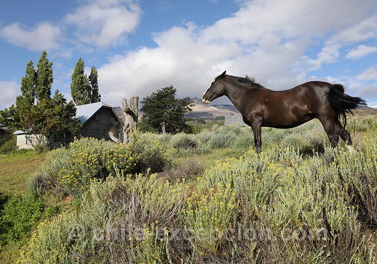 Cheval de Patagonie au Chili