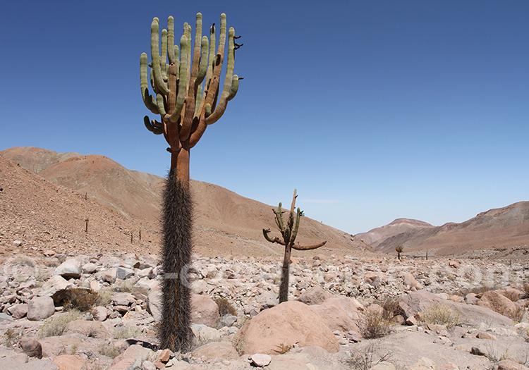Cactus candélabre, désert d'Atacama