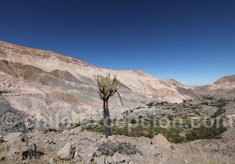 Cactus candélabre, vallée de Camiña