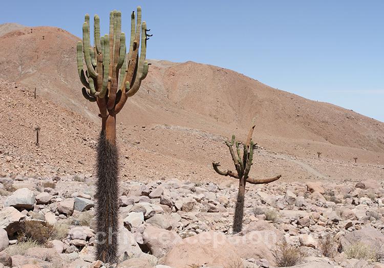 Cactus candélabre, cactus du Chili