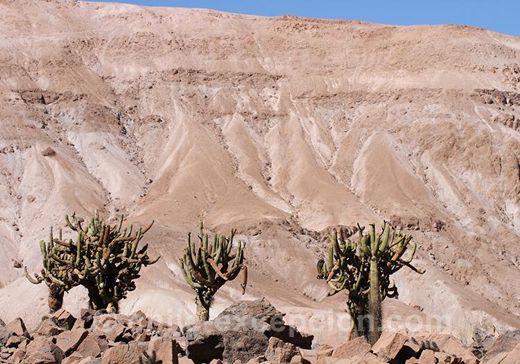 Cactus candélabre, cactus entre le Chili et le Pérou