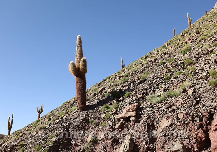Cardón, sur le flanc d'une falaise dans le nord du Chili