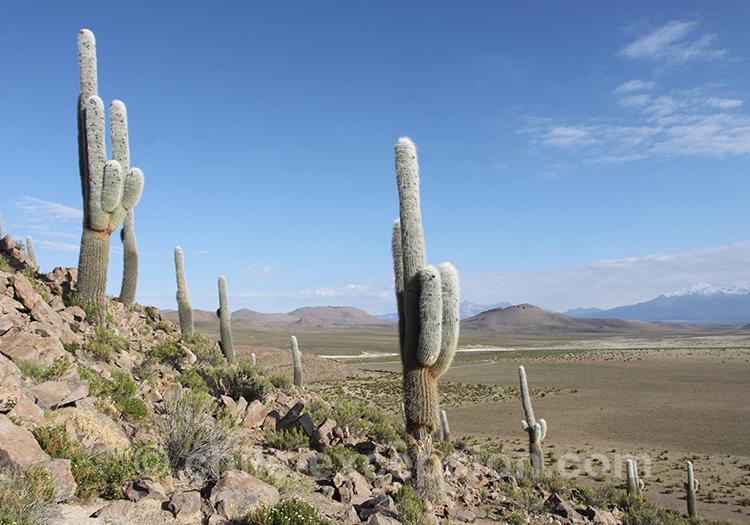 Champs de cardon, le plus grand cactus du Chili