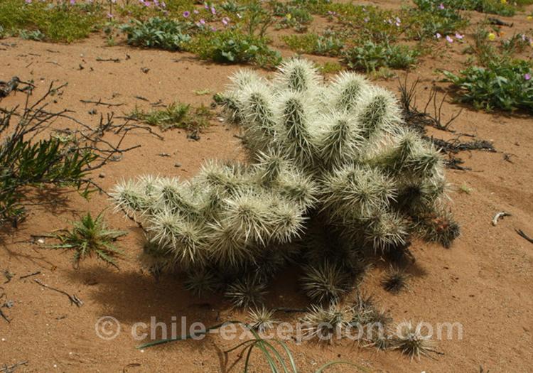 Cholla, cactus du Chili