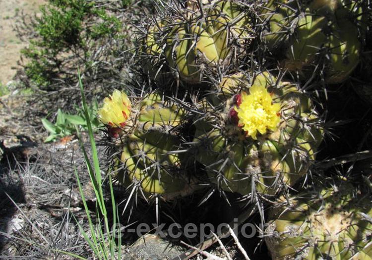Copiapoa coquimbana, cactus du Chili
