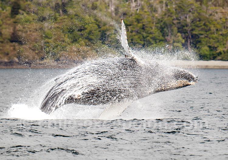 Saut de baleine lors de l'excursion au parc Francisco Coloane, Chili