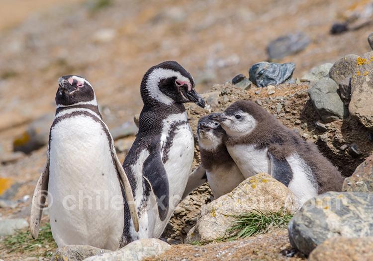 Manchots au Monument naturel Los Pinguinos, Chili