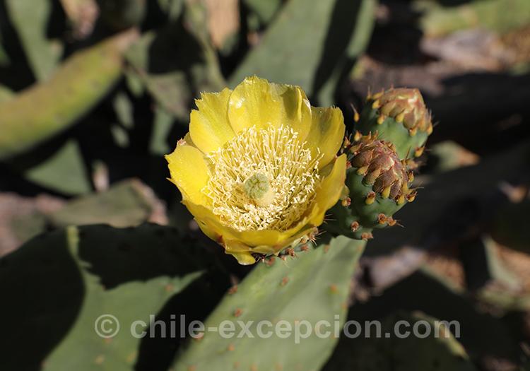 Figuier de barbarie, fleur jaune en gros plan, Chili avec l'agence de voyage Chile Excepción