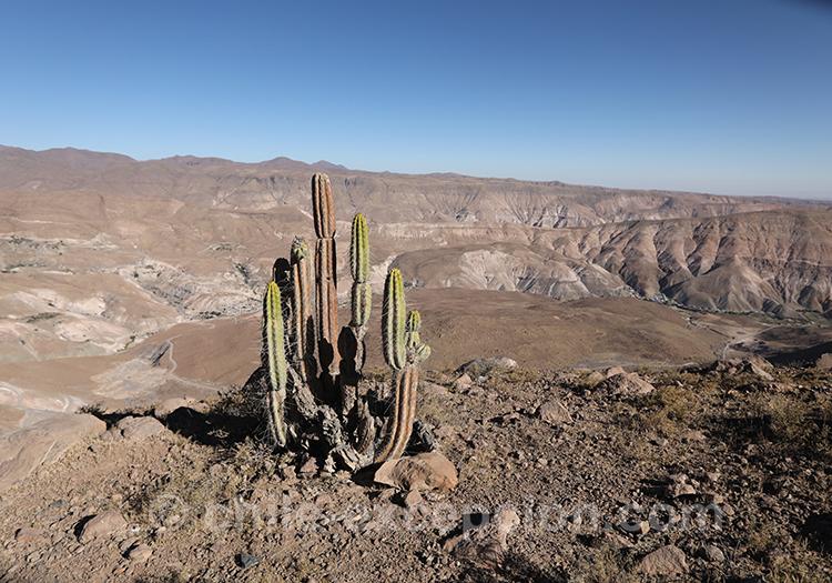 Guacalla, cactus du Chili