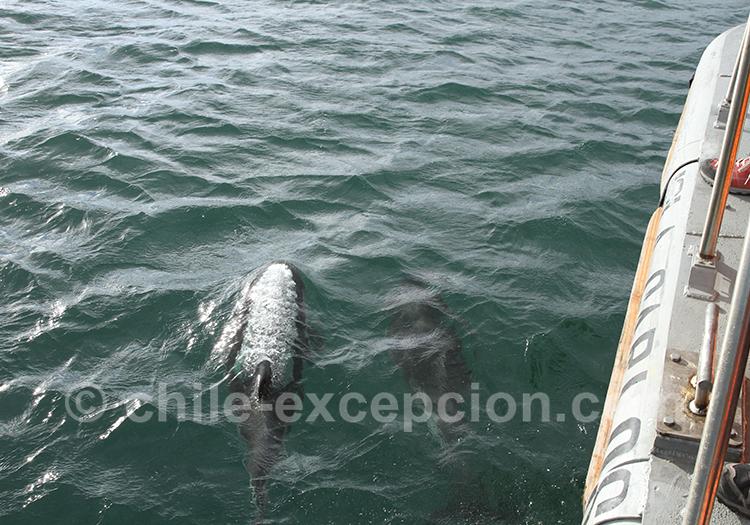 Dauphins vus près de l'île Magdalena, Punta Arenas