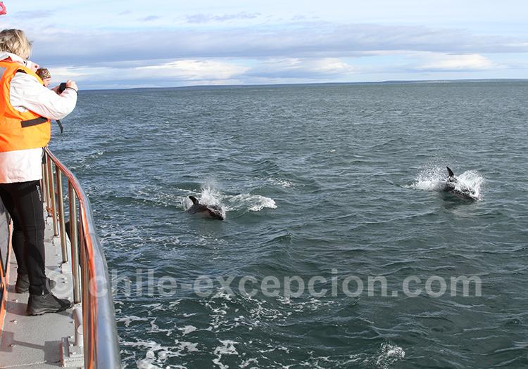 Où voir des dauphins près de Punta Arenas, île Magdalena