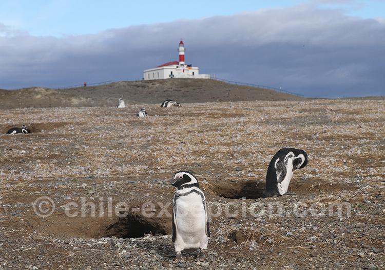 Manchots sur le monument naturel Los Pinguinos, Chili