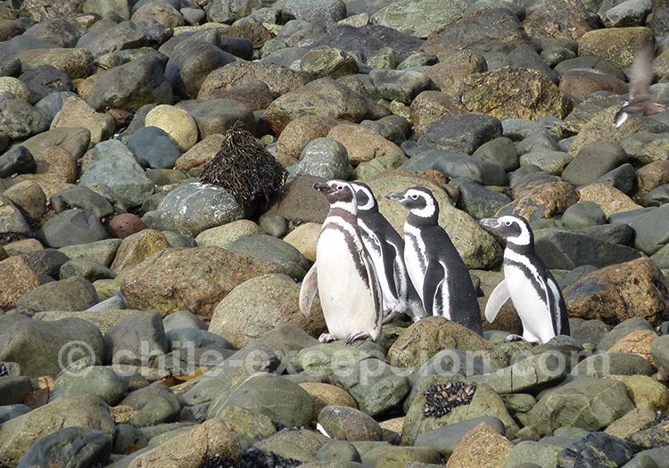Quatre manchots qui prennent le soleil sur les rochers, Los Pinguinos, Chili