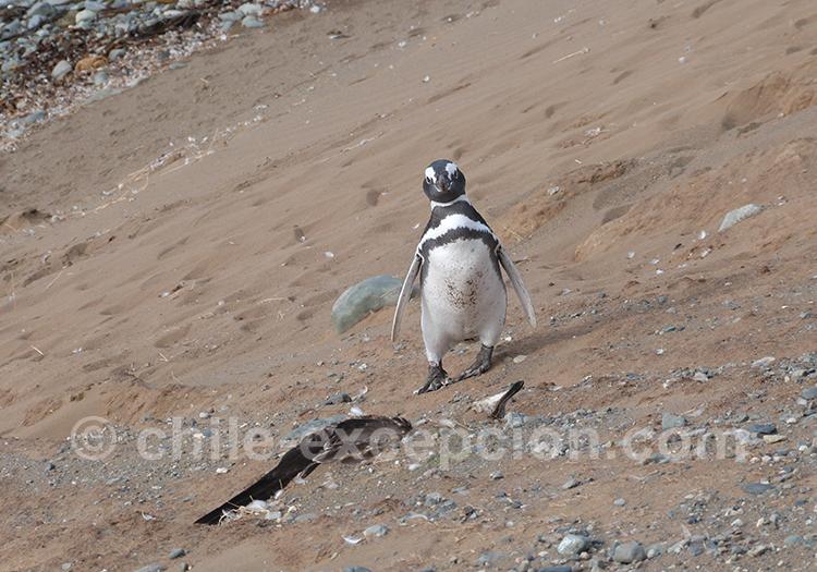 Manchot qui se promène sur la plage à l'île Magdalena, Chili