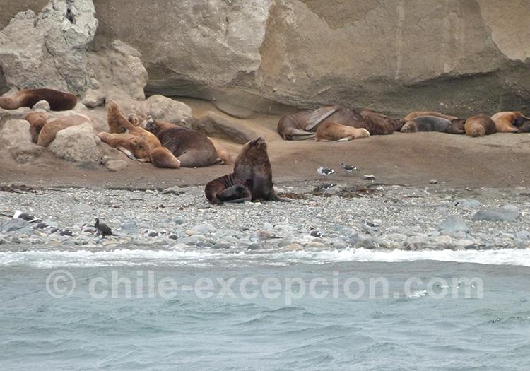 Lion de mer qui se repose sur le bord de la plage, île Magdalena, Punta Arenas