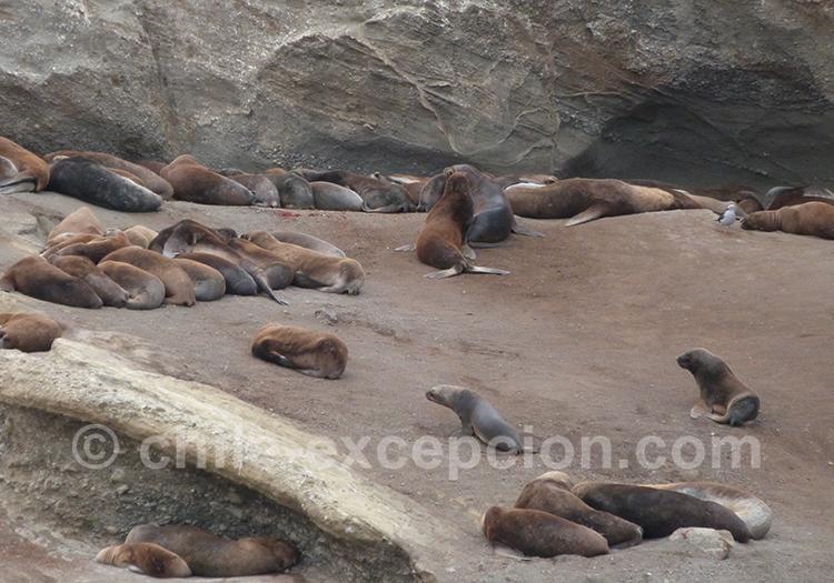 Colonie de lions de mer à l'île Magdalena, Chili