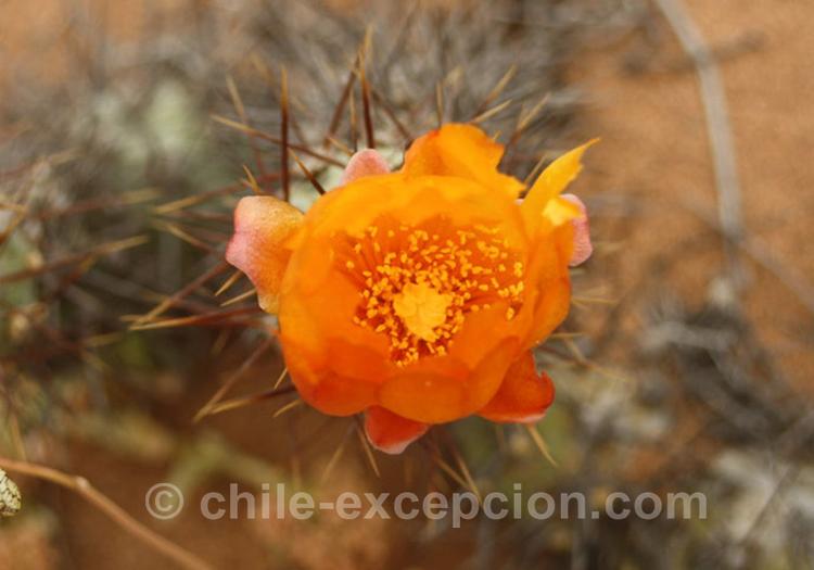 Perrito, cumulopuntia sphaerica, cactus du Chili
