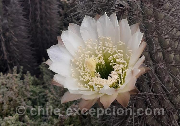 Quisco costero, cactus du Chili