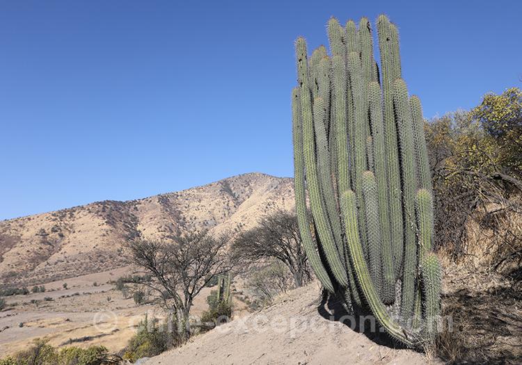 Quisco o Cacto, cactus du Chili