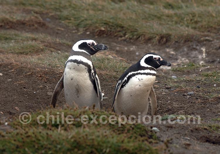 ïle Magdalena, deux manchots sur le monument naturel Los Pinguinos, Punta Arenas