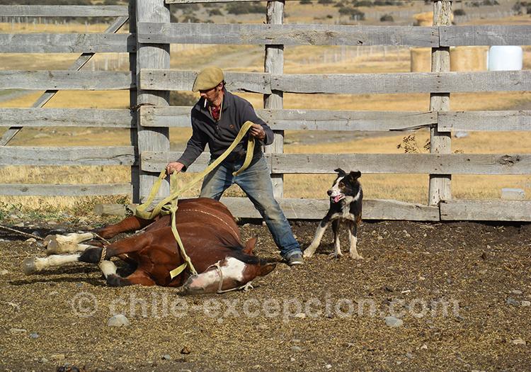 Voir du dressage de chevaux à l'estancia Cerro Guido, Chili