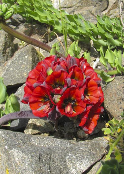 Désert Fleuri au Chili
