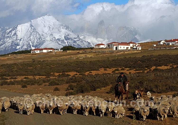 Troupeau de moutons à l'estancia Cerro Guido, Chili