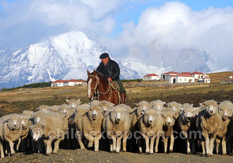 Elevage de moutons à l'estancia Cerro Guido, Chili
